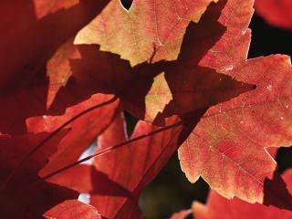 обои Солнце на красных листьях фото