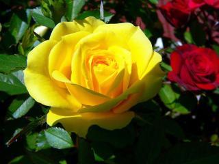обои для рабочего стола: Жёлтая роза
