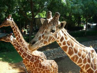 обои Несколько жирафов фото