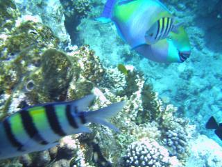 обои Две полосатые рыбки фото