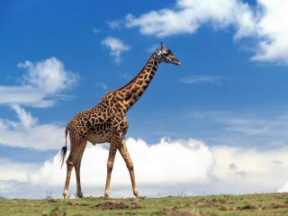 обои Высокий жираф идет по полю фото