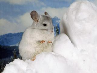 обои Белая мышка на снегу фото