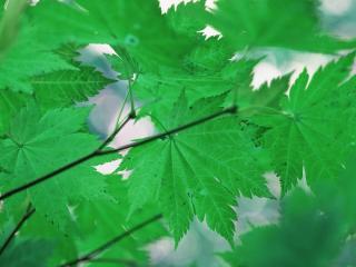 обои Летние кленовые листья фото