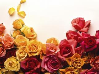 обои Розы желтые,   красные фото