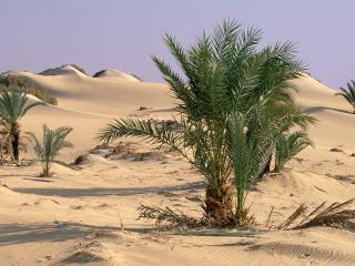 обои Пальмы среди пустыни фото