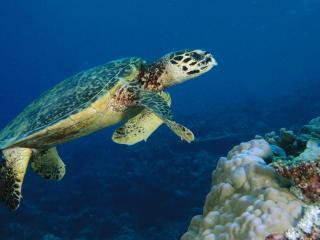 обои Hawksbill Turtle,   Malaysia фото