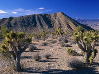 обои Joshua Trees,   Nevada фото