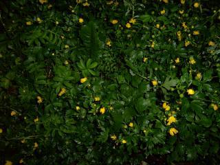 обои Жёлтые цветки на фоне зеленых листьев фото