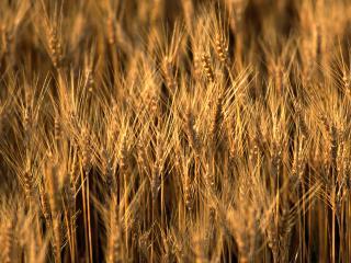 обои Колосы пшеницы фото
