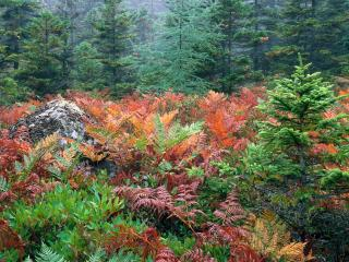 обои Colorful Ferns in Autumn, Acadia National Park, Maine фото