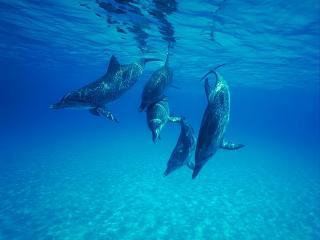 обои Стайка любознательных дельфинов в лазурной воде фото