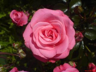 обои Розовая роза фото