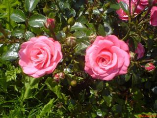 обои Две розовые розы фото