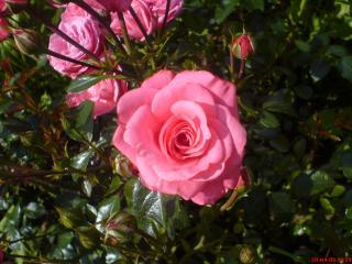 обои Розовый куст фото