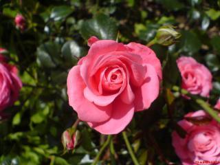 обои Розовые розы фото