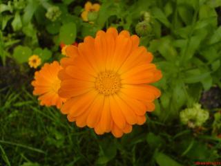 обои Оранжевый ноготок фото