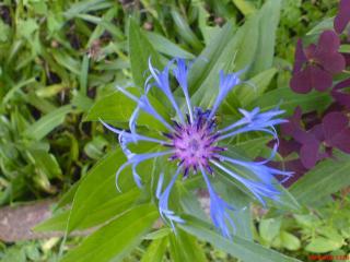обои Голубой цветок фото