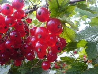 обои Смородиновые грозди фото