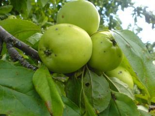 обои Зеленые яблоки фото