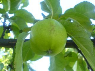 обои Дикое яблочко фото