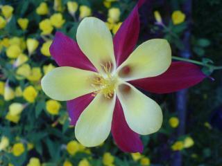 обои Желтокрасный цветочек фото