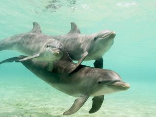 обои Три дельфина фото