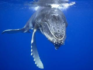 обои Синий кит фото