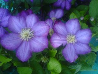 обои Фиолетовые цветы фото
