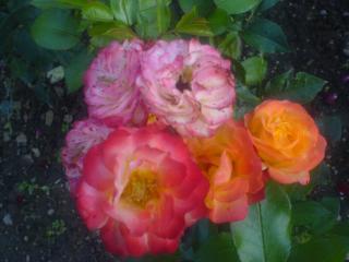 обои Разноцвеиные розы фото
