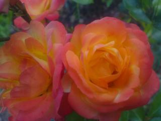 обои Оранжевые розы фото