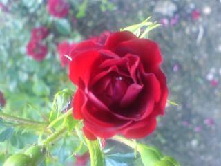 обои Красная роза фото