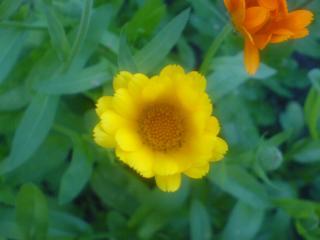 обои Жлтенькая ромашечка фото