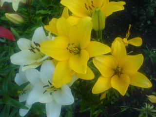 обои Желтые и белые лилии фото