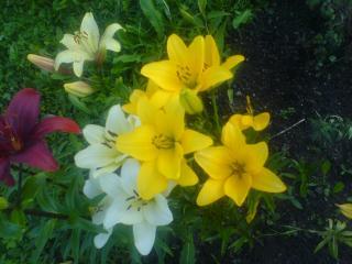обои Разныен лилии фото