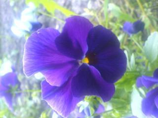 обои Фиолетовые анютины глазки фото