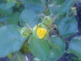 обои Бутон желтой розы фото