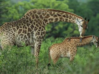 обои Семья жирафов фото