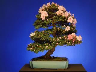 обои Дерево Бонсай Сацуки Азалия фото