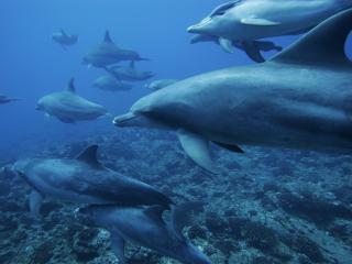 обои Умные дельфины плывут в одном направлении в синей воде фото
