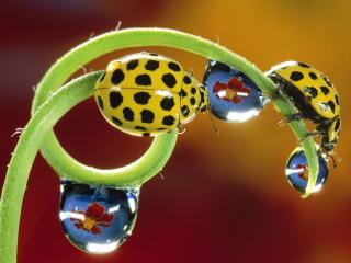 обои Twenty-Two-Spotted Ladybird Beetles фото