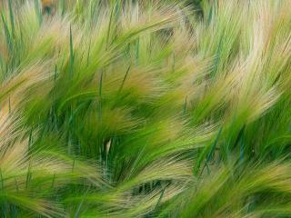 обои Трава Ячмень фото