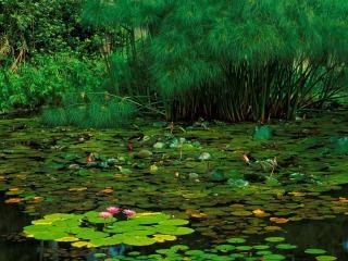 обои Летний пруд в садах  Helani, остров Maui фото