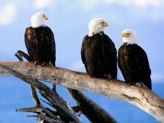 обои Wild Bald Eagles фото