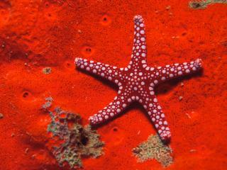 обои Red Starfish фото