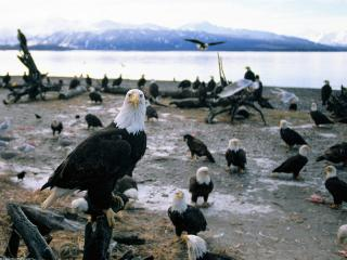 обои Forward Thinking, Bald Eagles, Alaska фото