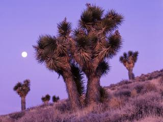 обои Moonrise Over Joshua Trees,   Death Valley National Park,   California фото