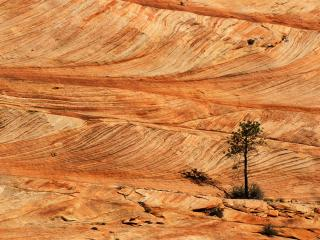 обои Single Tree on Sandstone Formation,   Zion National Park,   Utah фото