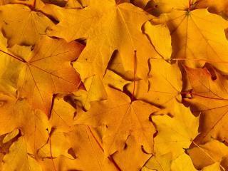 обои Пожелтевшие листья канадского клена фото
