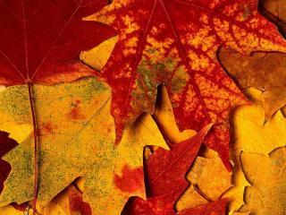 обои Бурые кленовые листья фото