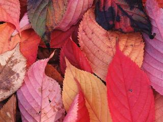 обои Листья осины меняют осенью цвет фото